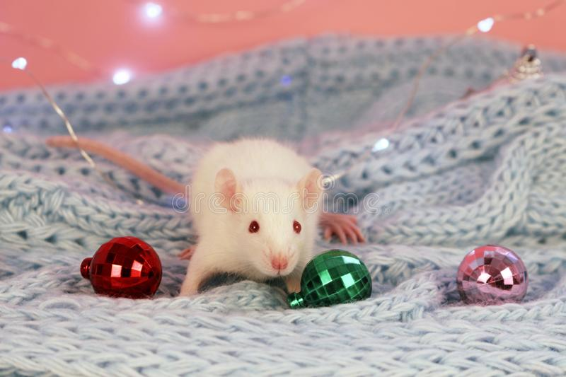 White rat on a blue knitted scarf background,with christmas balls , symbol of the new year 2020 royalty free stock photo