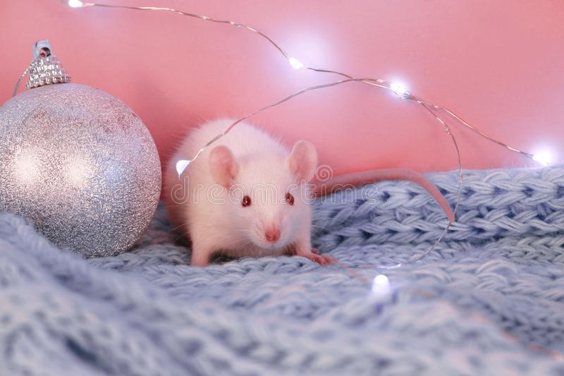 White rat on a blue knitted scarf background , symbol of the new year 2020 stock photos
