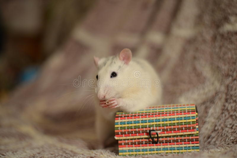 White rat and box. White rat eating a piece of bread on box stock photography