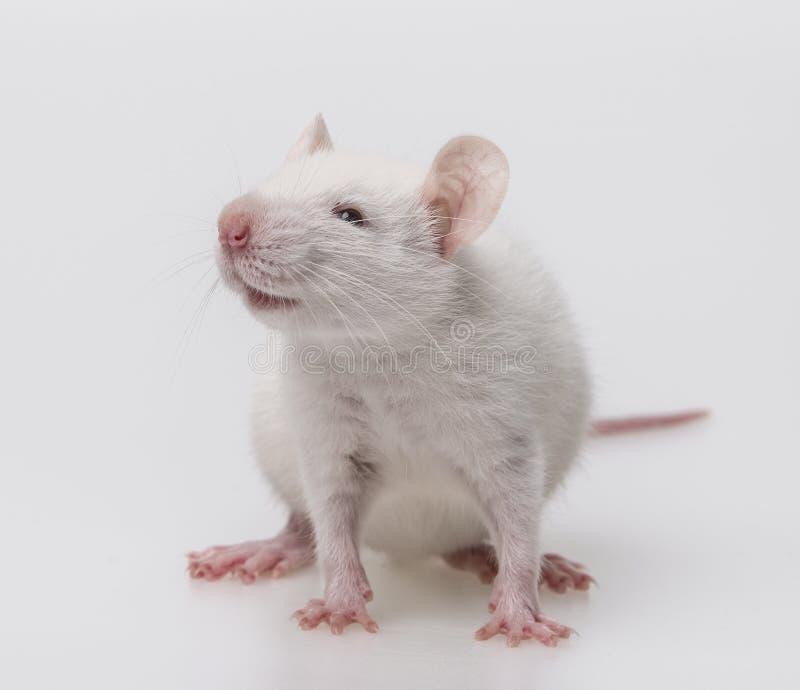 White rat. A cute white rat sitting stock photos