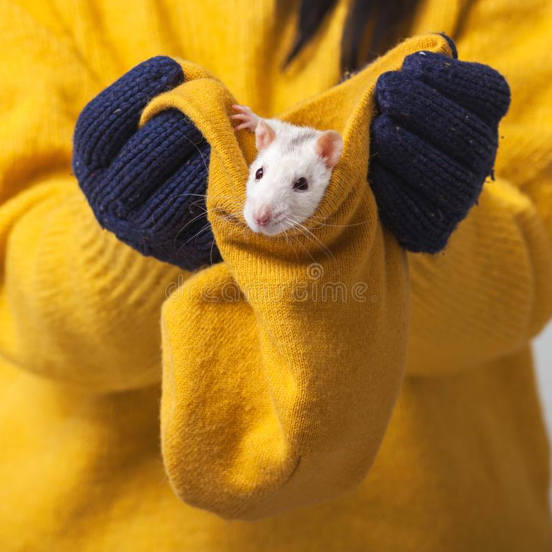 White rat in a knitted hat. Hands in knitted gloves hold a hat in which a rodent sits, new, year, 2020, fun, animal, winter, horoscope, pets, eastern, calendar royalty free stock photography