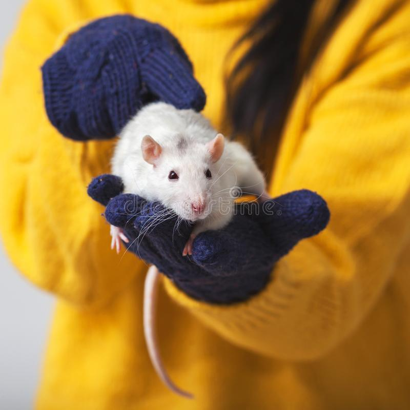 White rat is sitting in the hands. The hands that hold the rat wear knitted gloves, xmas, farm, christmas, rodent, new, year, 2020, fun, animal, winter stock photo