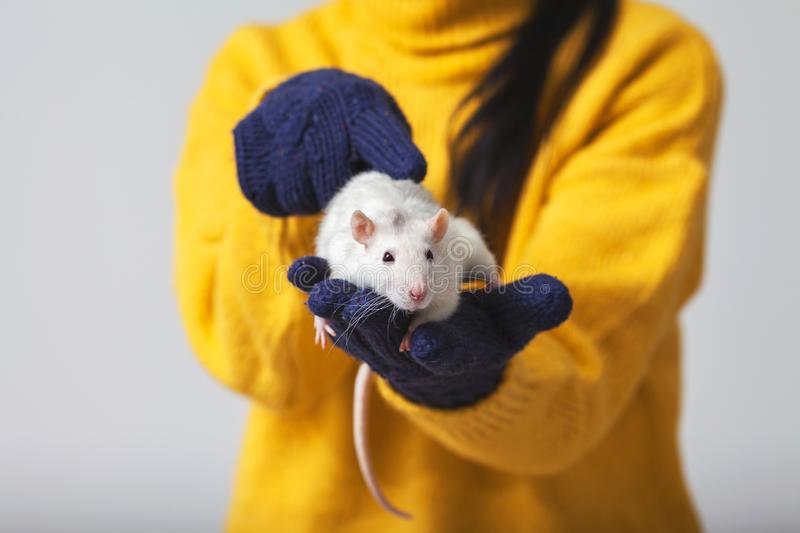 White rat is sitting in the hands. The hands that hold the rat wear knitted gloves, xmas, farm, christmas, rodent, new, year, 2020, fun, animal, winter royalty free stock images