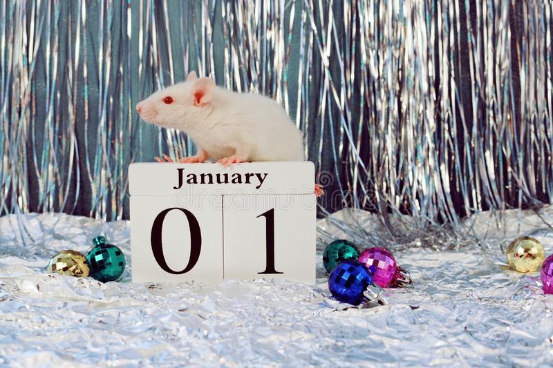 White rat sitting on wooden calendar with christmas decorations, symbol of the new year 2020. White rat sitting on wooden calendar with christmas decorations royalty free stock photos