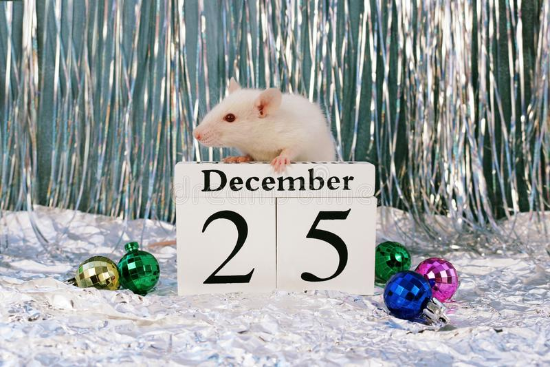 White rat sitting on wooden calendar with christmas decorations, symbol of the new year 2020 stock image