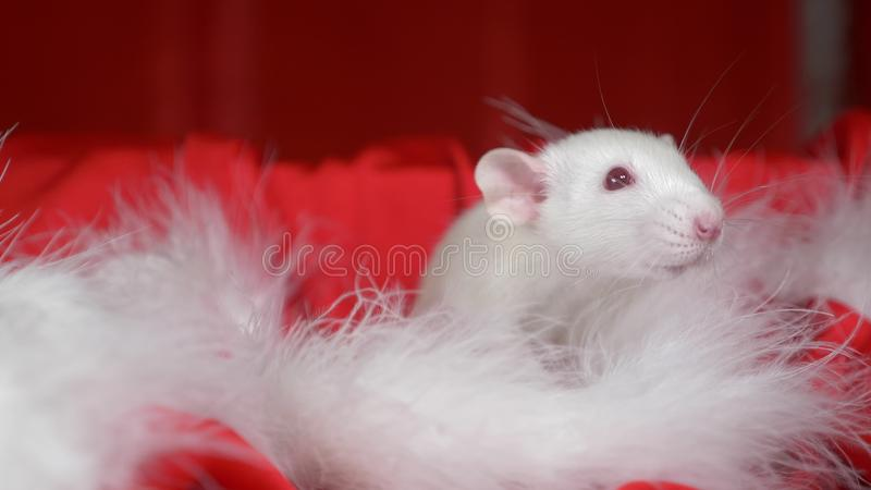 White rat in a small cap santa looks out of a Santa hat on a red background. Christmas card. symbol of the year 2020 stock image