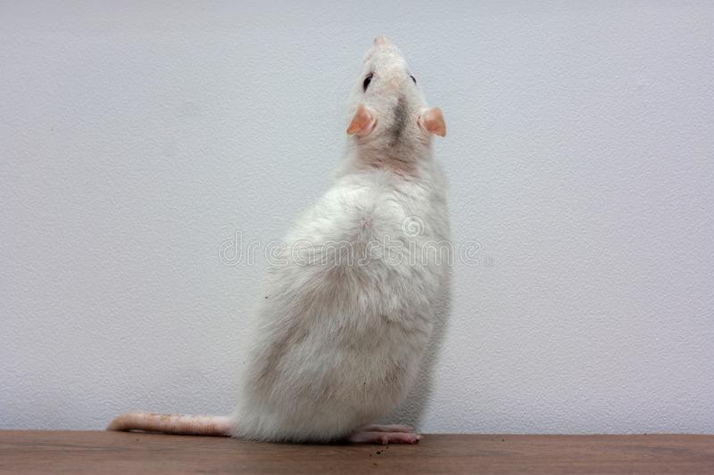 A white rat stands on a table on its hind legs. stock images