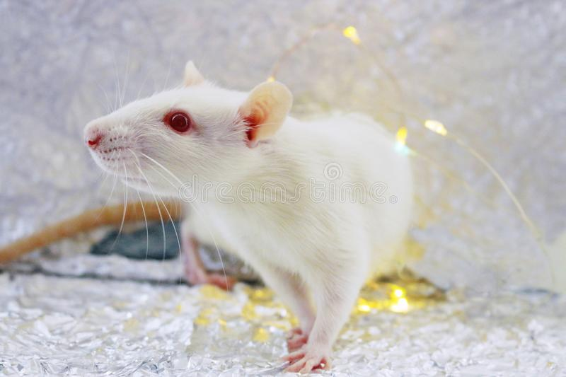 White rat. Symbol of chinese new year 2020. Christmas  rat on foil background royalty free stock photo