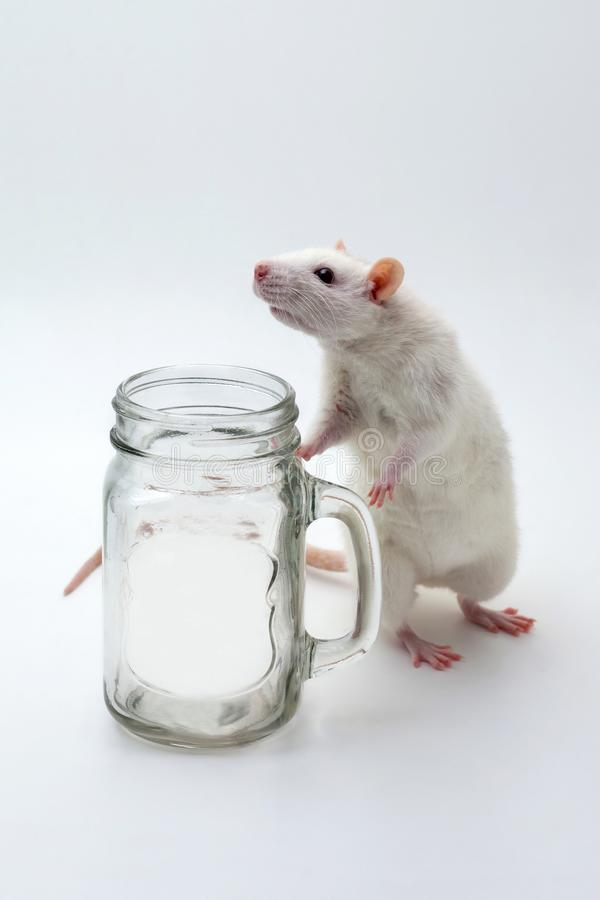 White rat with a transparent cup. stock photography