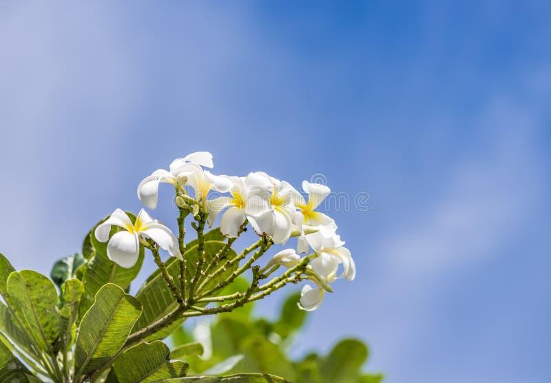 White Rave, the favorite flower for gardenning. White Rave favorite is one of the most favorite flower for gardenning in Thailand royalty free stock image