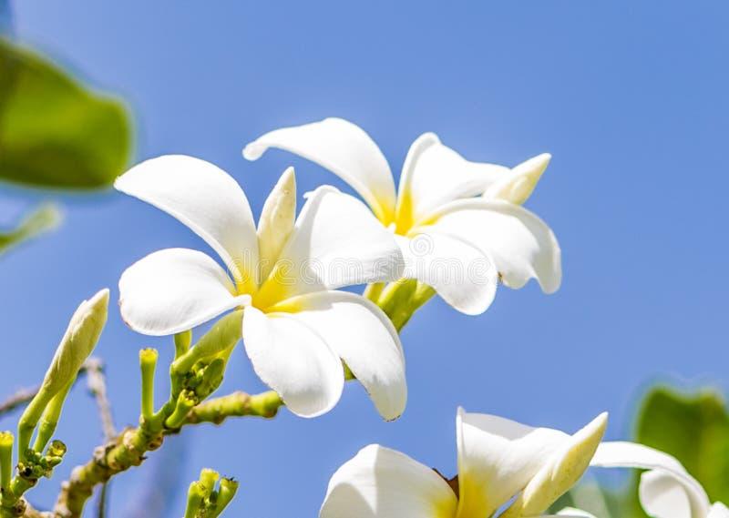 White Rave, the favorite flower for gardenning. White Rave favorite is one of the most favorite flower for gardenning in Thailand stock photos