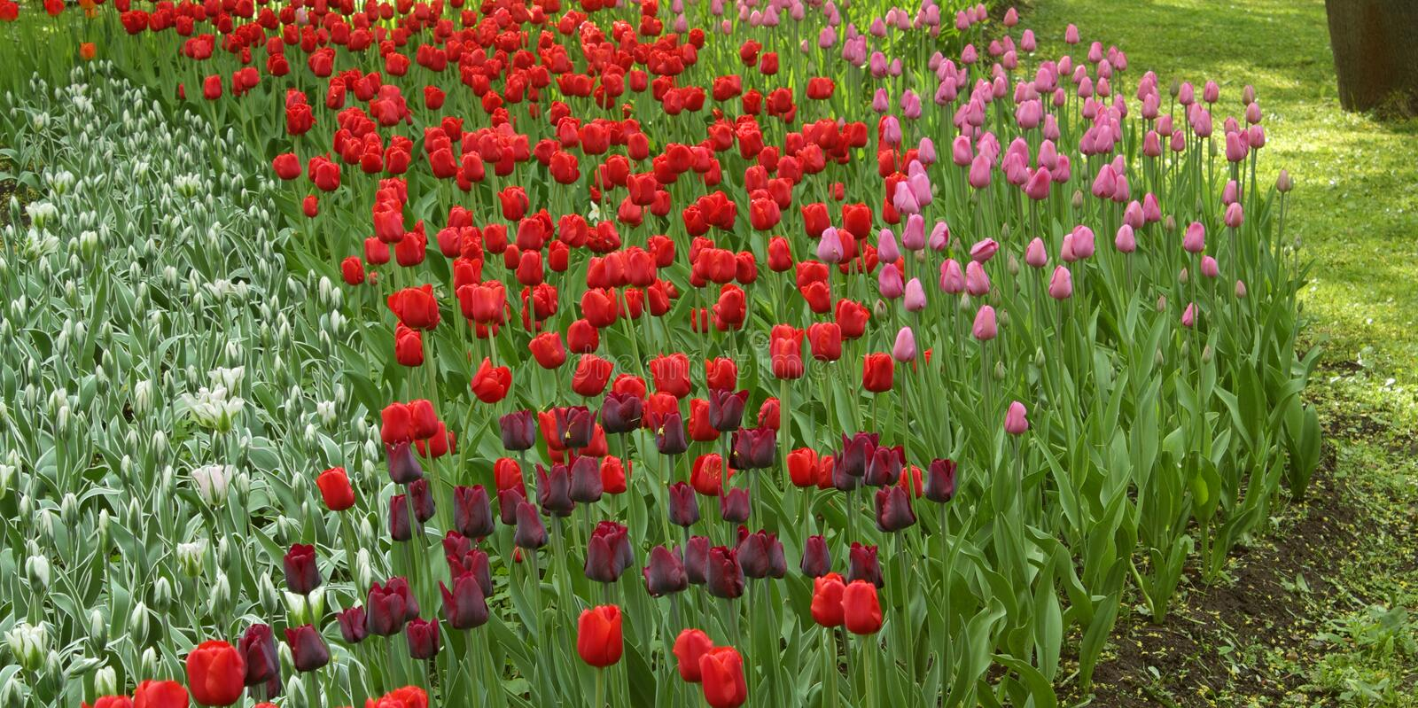 White, red, black and pink tulips royalty free stock photo