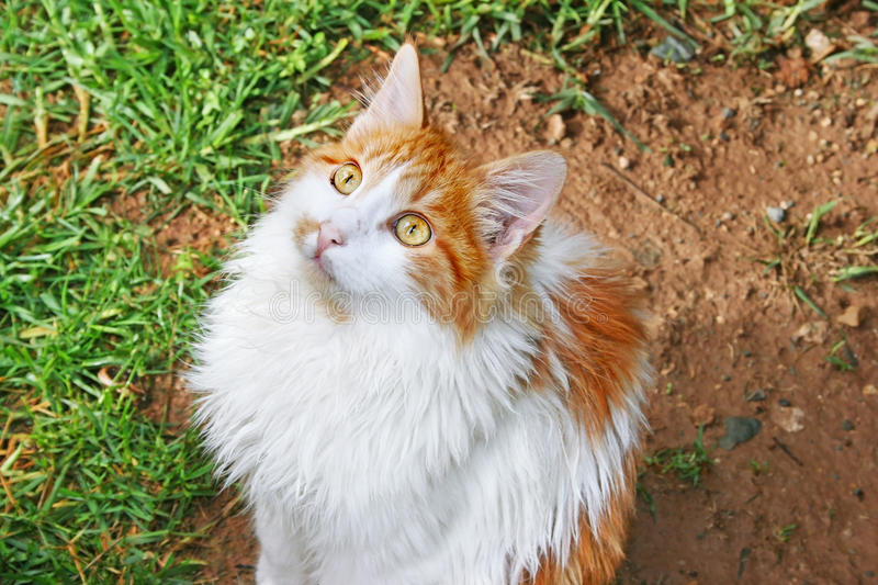 White and red cat
