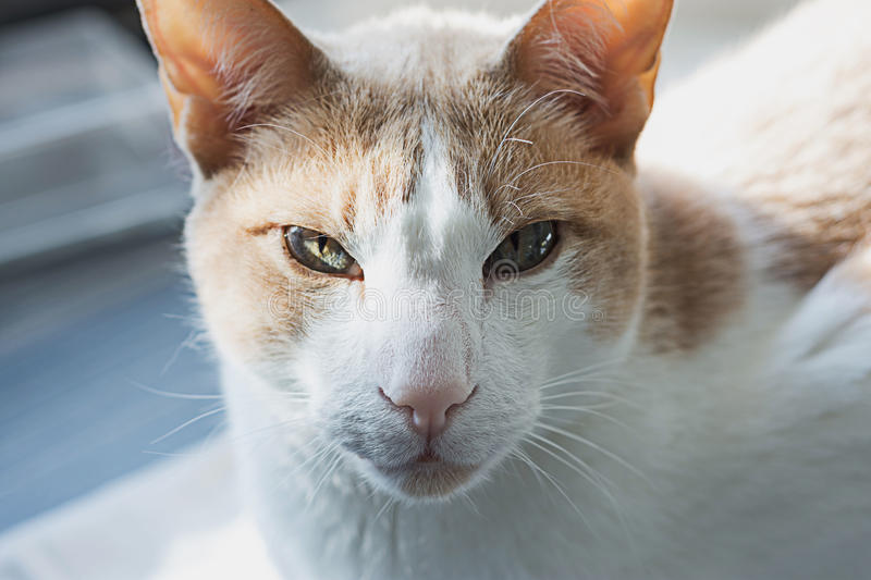 White with red cat. Real best cat photo royalty free stock images