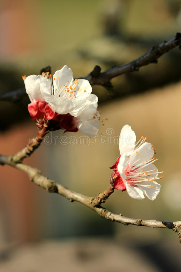 White and Red Cherry Blossoms. On a branch and red background in sunset/sunrise Photo taken on: March 29th 2013 stock photo