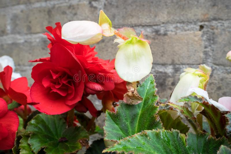 White and red colored double flowered Begonia stock photo