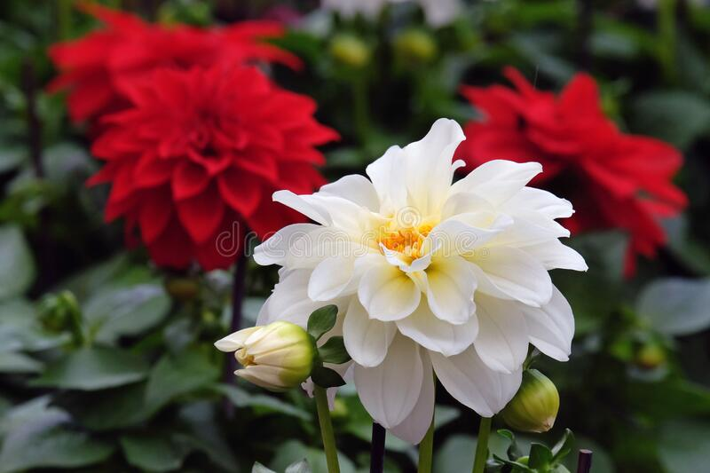 White and Red Dahlias in the garden stock images
