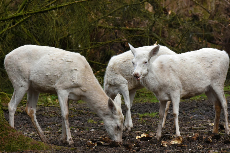 White red deers or white hinds royalty free stock image