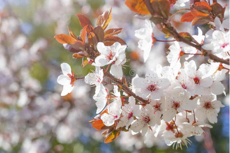 White red flowers of Prunus cerasifera. Blossoming branch with with flowers of cherry plum. Blooming tree royalty free stock photo