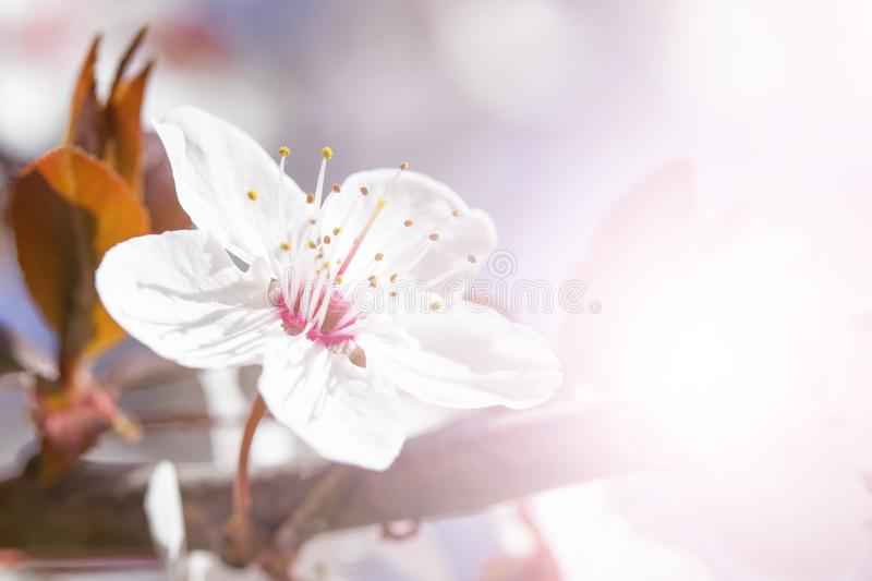 White red flowers of Prunus cerasifera. Blossoming branch with with flowers of cherry plum. Blooming tree stock photo