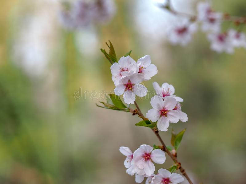 White red flowers of Prunus cerasifera. Blossoming branch with with flowers of cherry plum stock image