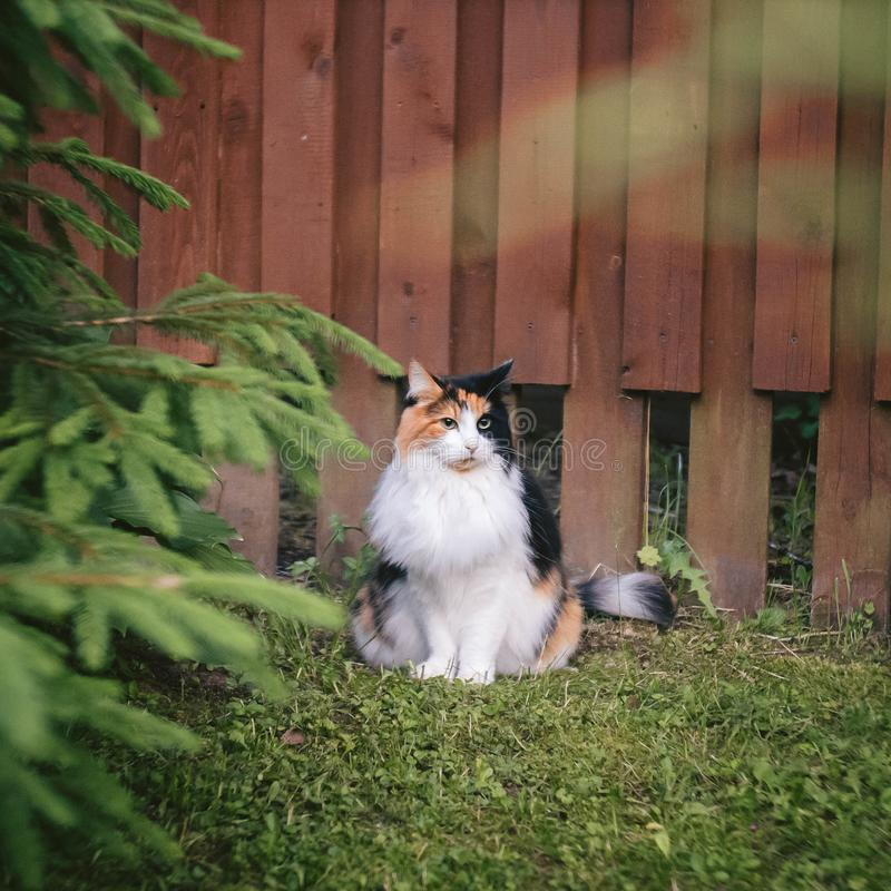 White-red fluffy cat sitting near a burgundy fence royalty free stock photo