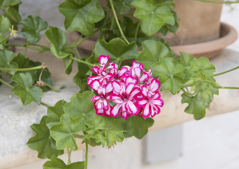 White and red Geranium blooms in a pot, Southern Italy. Pictured are red and white geranium blooms in a decorative pot in southern Italy. Geranium is a genus of stock photo