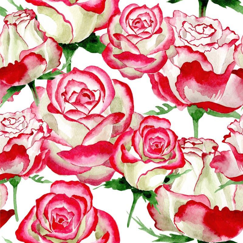 White-red rose. Floral botanical flower. Wild spring leaf wildflower pattern. Aquarelle wildflower for background, texture, wrapper pattern, frame or border stock illustration