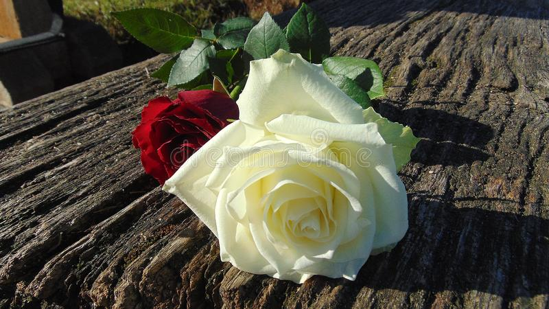 White And Red Roses Free Public Domain Cc0 Image