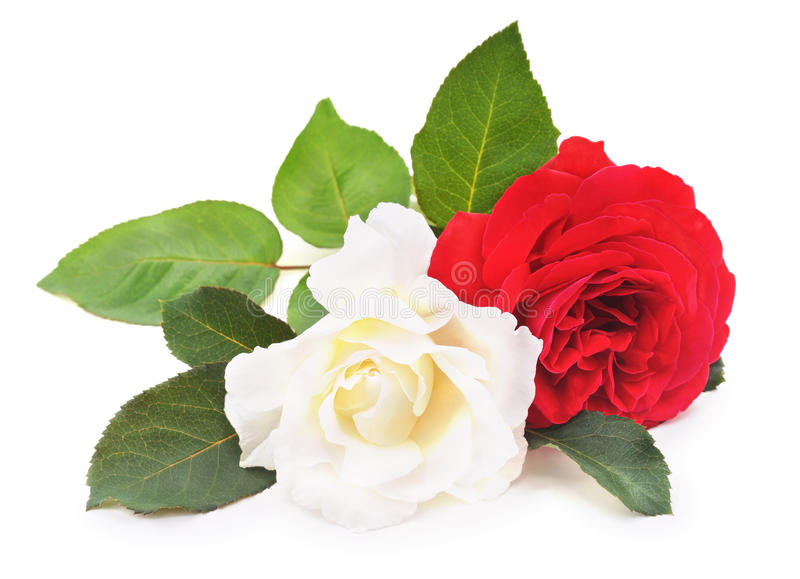 White and red roses. White and red roses on a white background stock photo