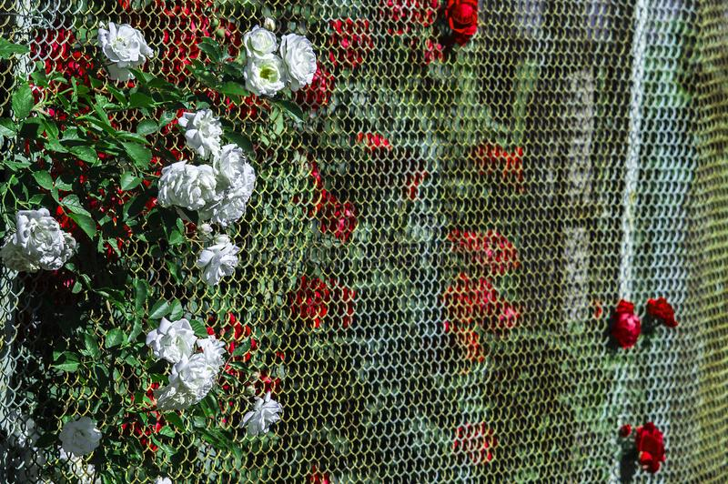 White and red roses break through the annoying fence. The most beautiful flowers growing in the summer are big red roses. The best gift for a woman on a stock photo