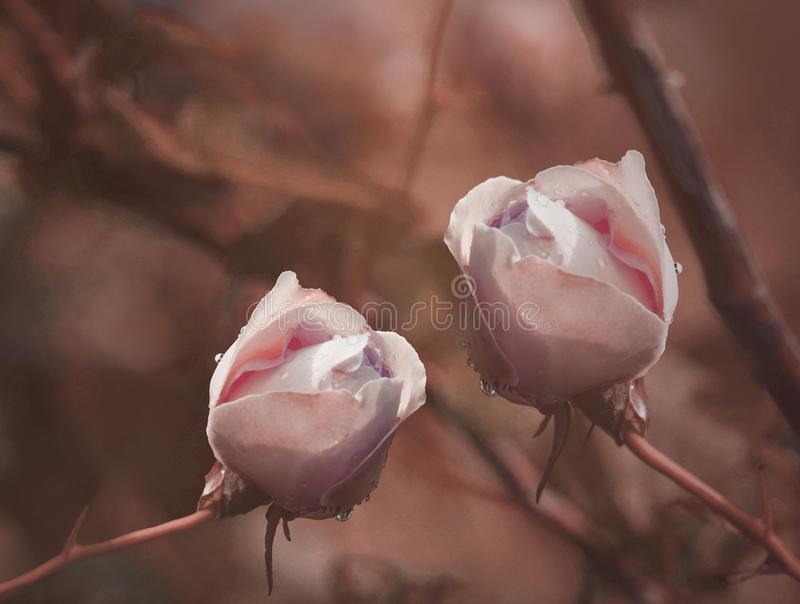 White-red Roses on a brown-red background after a rain with drops of water. Close-up. Floral background. Nature stock image
