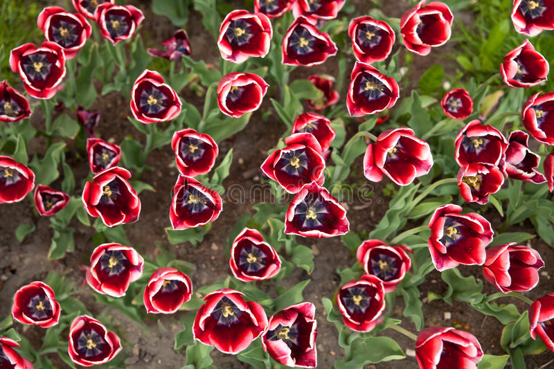 White and red tulips on texture background. stock images