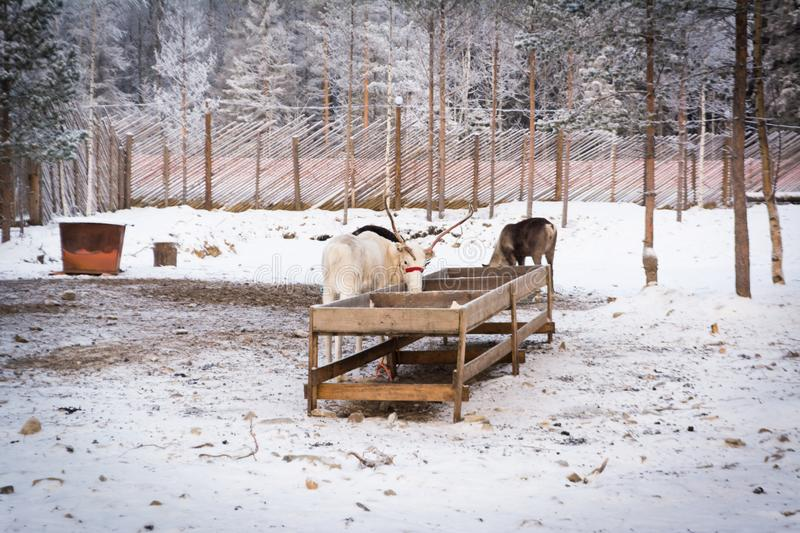 White reindeer eating from the trough. White reindeer eating from a feeder on a background of white snow, trees and fences stock photography