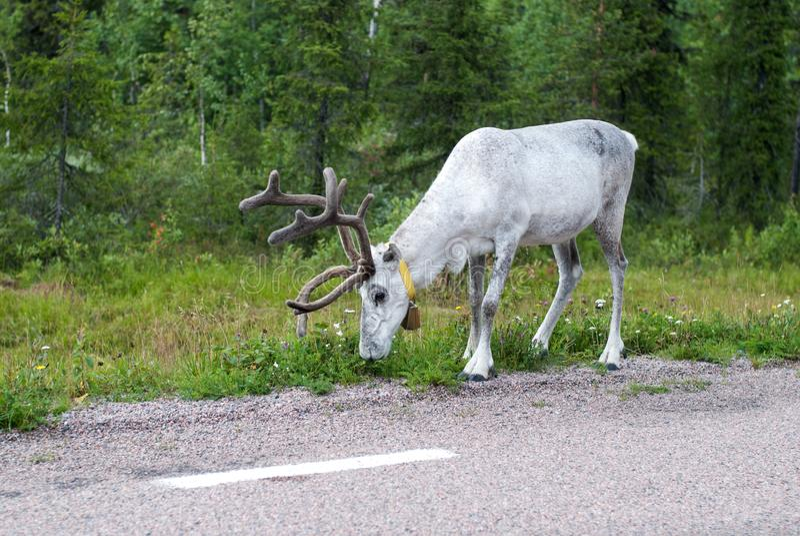 White reindeer grazing near the road, Sweden. White reindeer grazing near a road, Sweden stock photography
