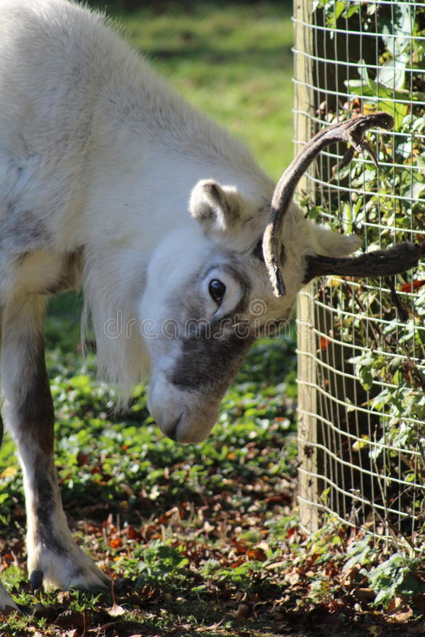 White Reindeer scratching antlers. White Reindeer scratching her antlers on the fence stock photography