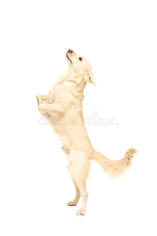 Download White Retriever Dog Standing Upright On His Legs Stock Photo - Image of retriever, domestic: 29648952