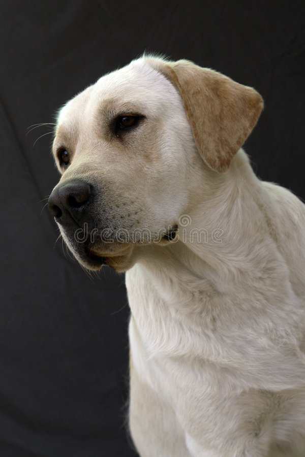 White retriever portret 6 royalty free stock photography