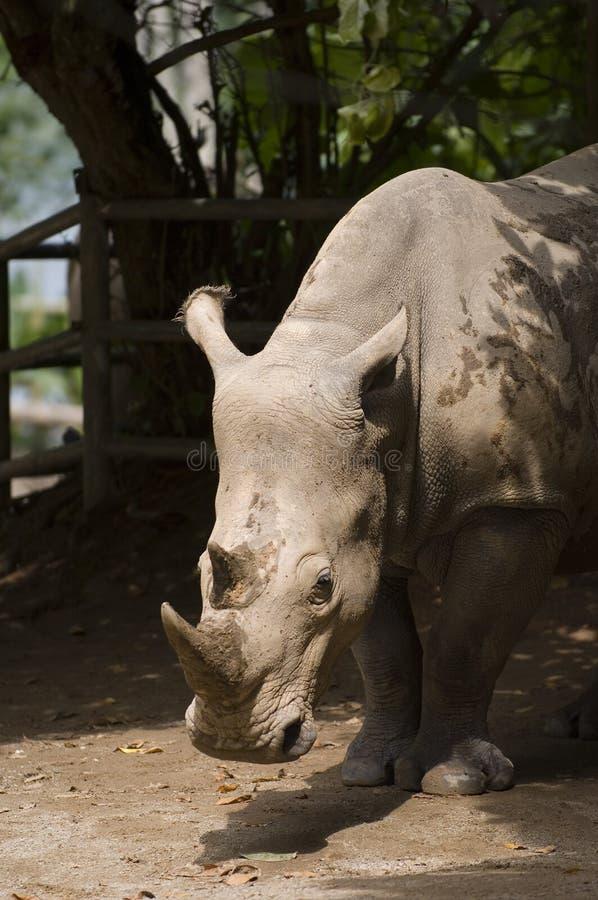 White Rhino 1 Free Stock Image