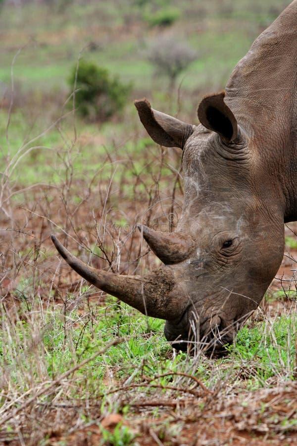 White rhino. A large White Rhino grazing royalty free stock images