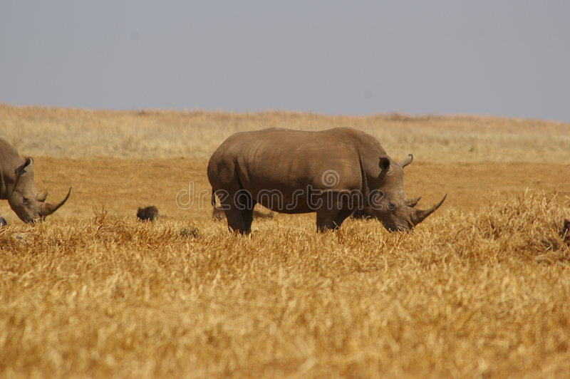 Download White Rhino stock image. Image of south, reserve, nature - 1227173