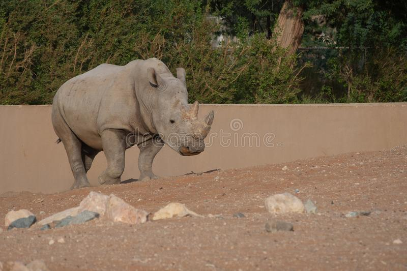 White Rhino strolling by showing off its horns stock image