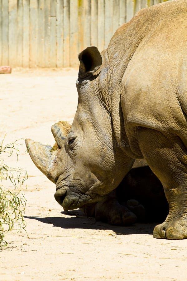 Single horned rhino wikipedia