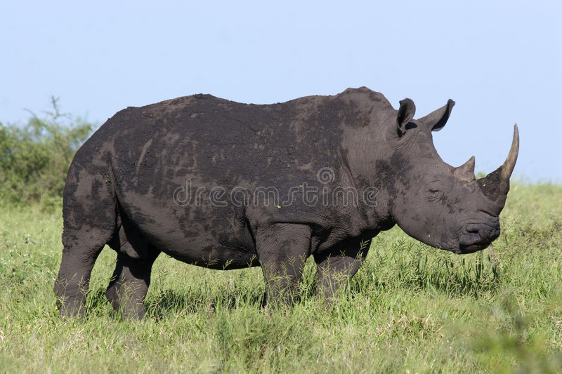 White rhino. In Kruger National Park South Africa stock photo