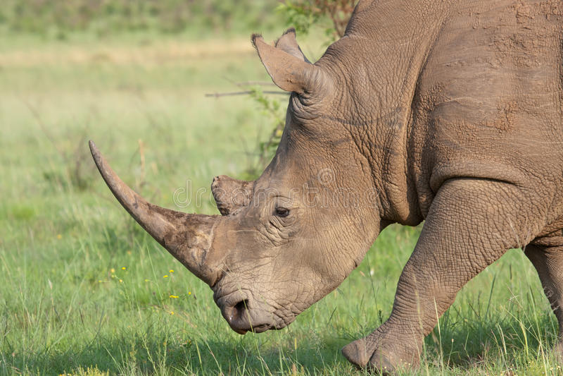 White Rhino royalty free stock photos