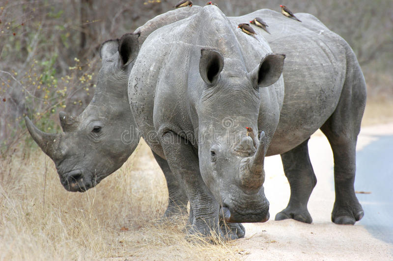 White rhino. Pair of white rhino standing on a road in Kruger national park,South Africa. On their back some oxpeckers stock photo
