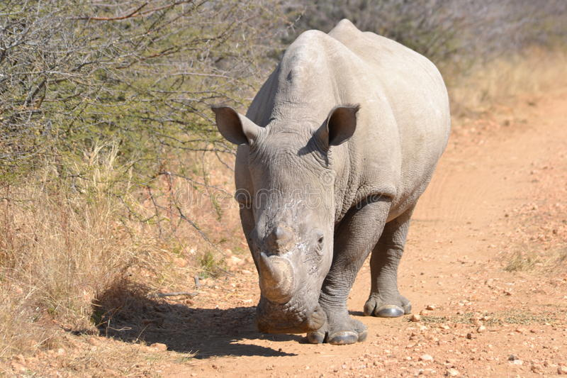 White Rhino. Ceros walking on gravel road during a game drive Namibia. The rhino is one of the big 5 stock images