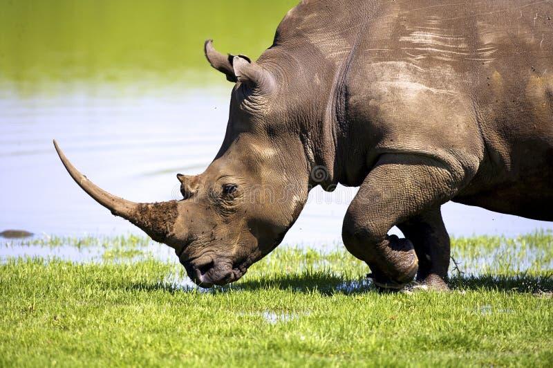 Download White Rhino stock photo. Image of white, animals, waterhole - 22969914