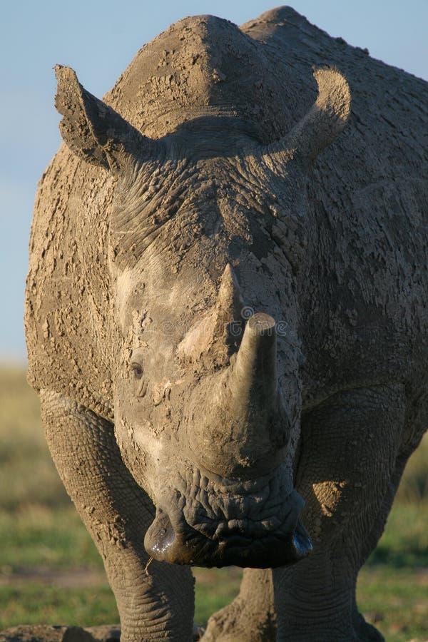 Download White rhino stock image. Image of african, white, endangered - 2376695
