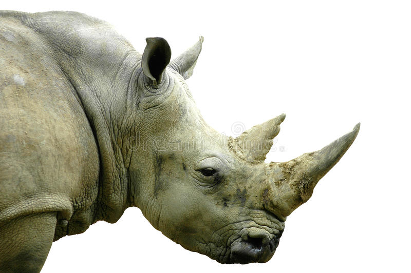 White Rhino. Side view of the head of a llarge white rhino stock photos